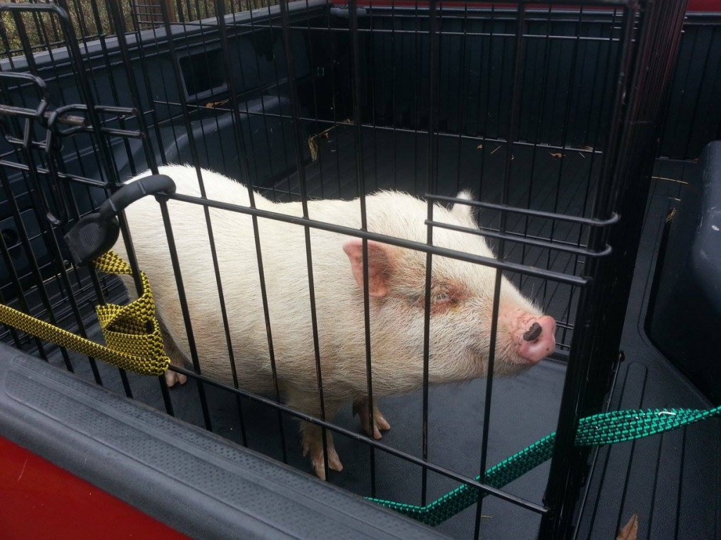 "This little ""Piggy"" was trapped by FPA and taken under the wing of ""TNT"" Rescue in Friendswood 1-7-2016"
