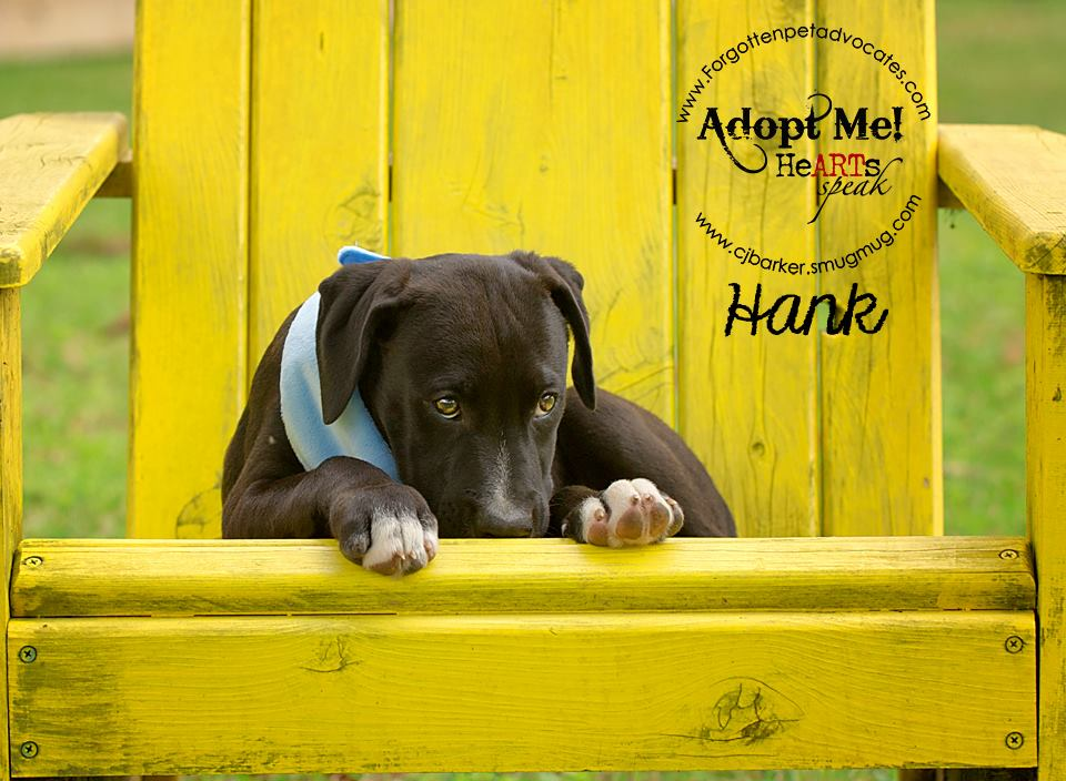 """Hank"" ADOPTED 1-10-2016"