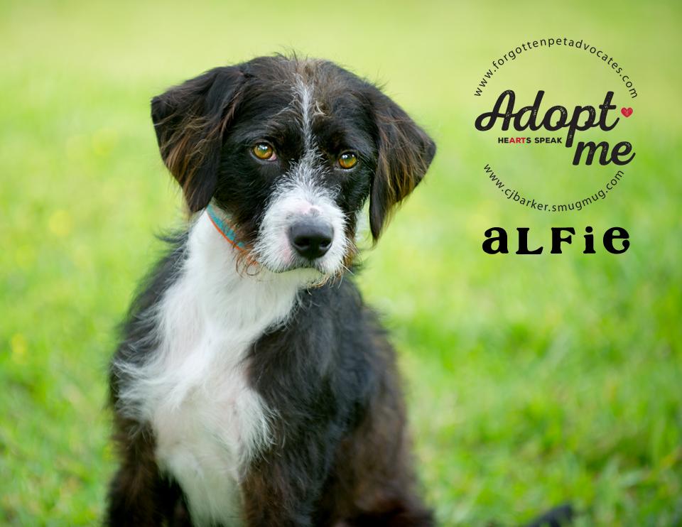 """Alfie"" ADOPTED 5-27-2017"