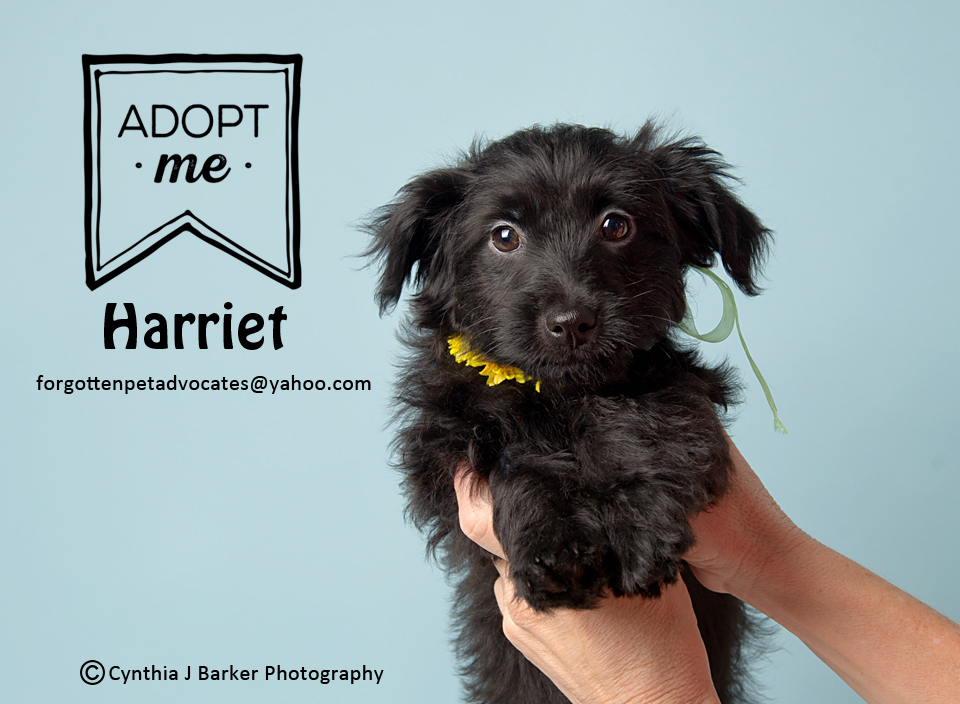"""Harriet"" ADOPTED 3-29-2017"