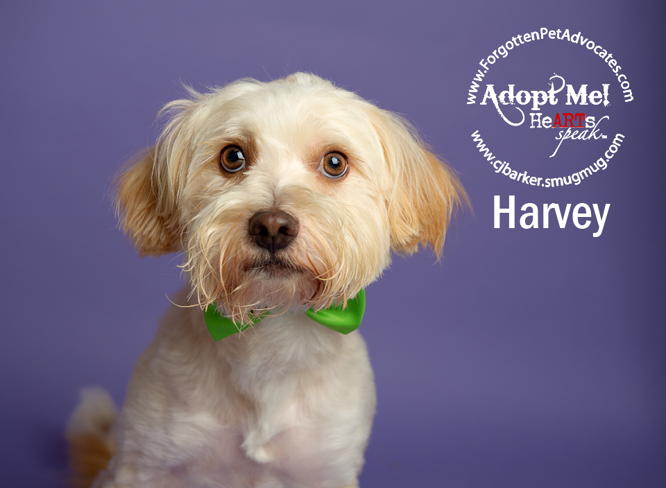 """Harvey"" ADOPTED 8-5-2016"