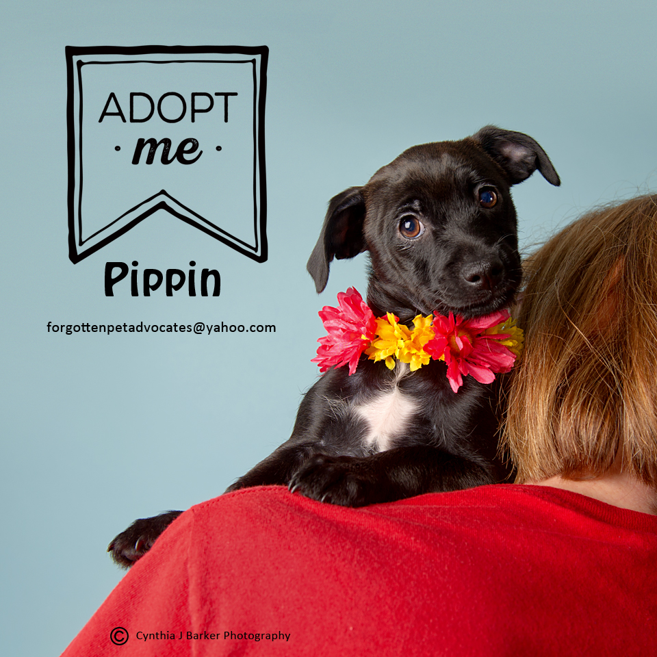 """""""Pippin"""" ADOPTED 6-10-2017"""