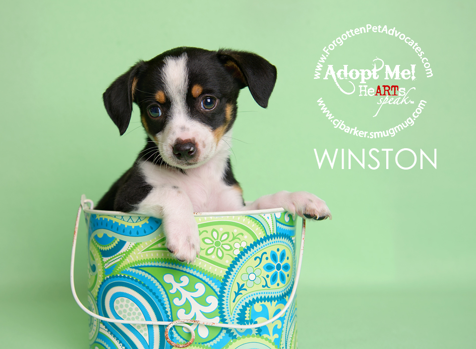 """Winston"" ADOPTED 7-1-2016"