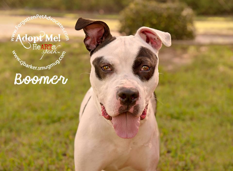 """Boomer"" ADOPTED 8-21-2016"