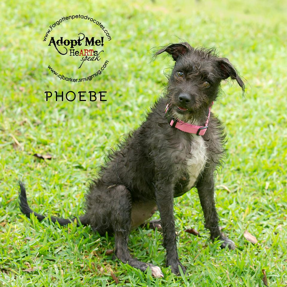 """Phoebe"" ADOPTED 11-19-2016"
