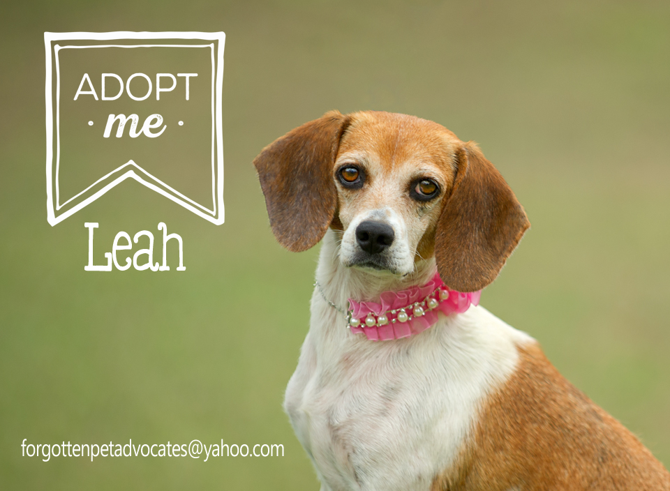 """Leah"" went to Houston Beagle and Hound Rescue !"